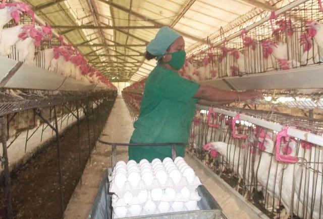 Avicultura avileña
