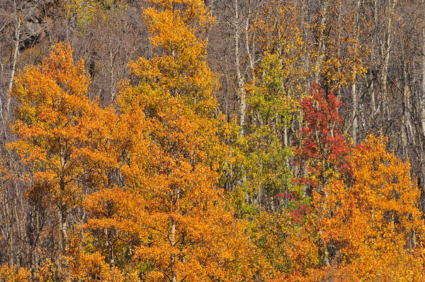Autumn color on Cottonwood Pass