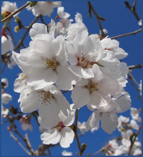 02 cherry blossoms sakura