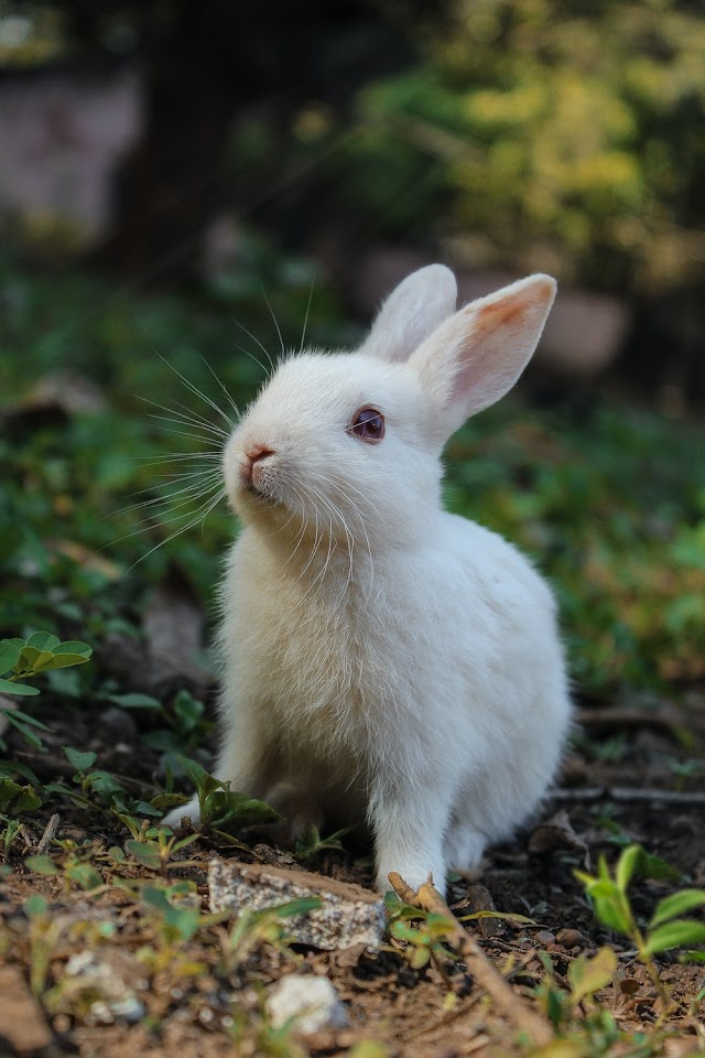 Things You Should Know About Domestic Rabbit Care