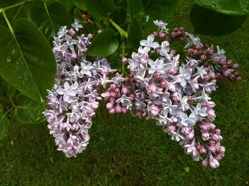 Lilacs by Ayala Moriel