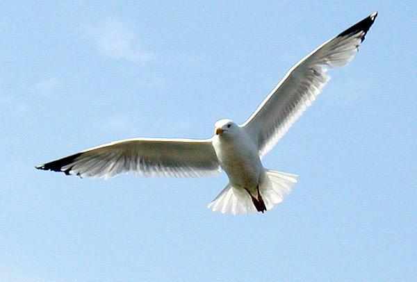 File:Flight.gull.arp.600pix.jpg