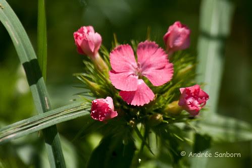Maiden Pink (Dianthus deltoides)-1.jpg