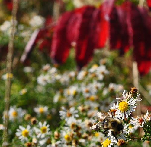 Asters, Bee and Sumac