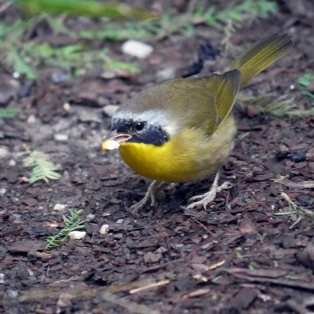 Ed Gaillard: birds &emdash; Common Yellowthroat, International Paper Plaza