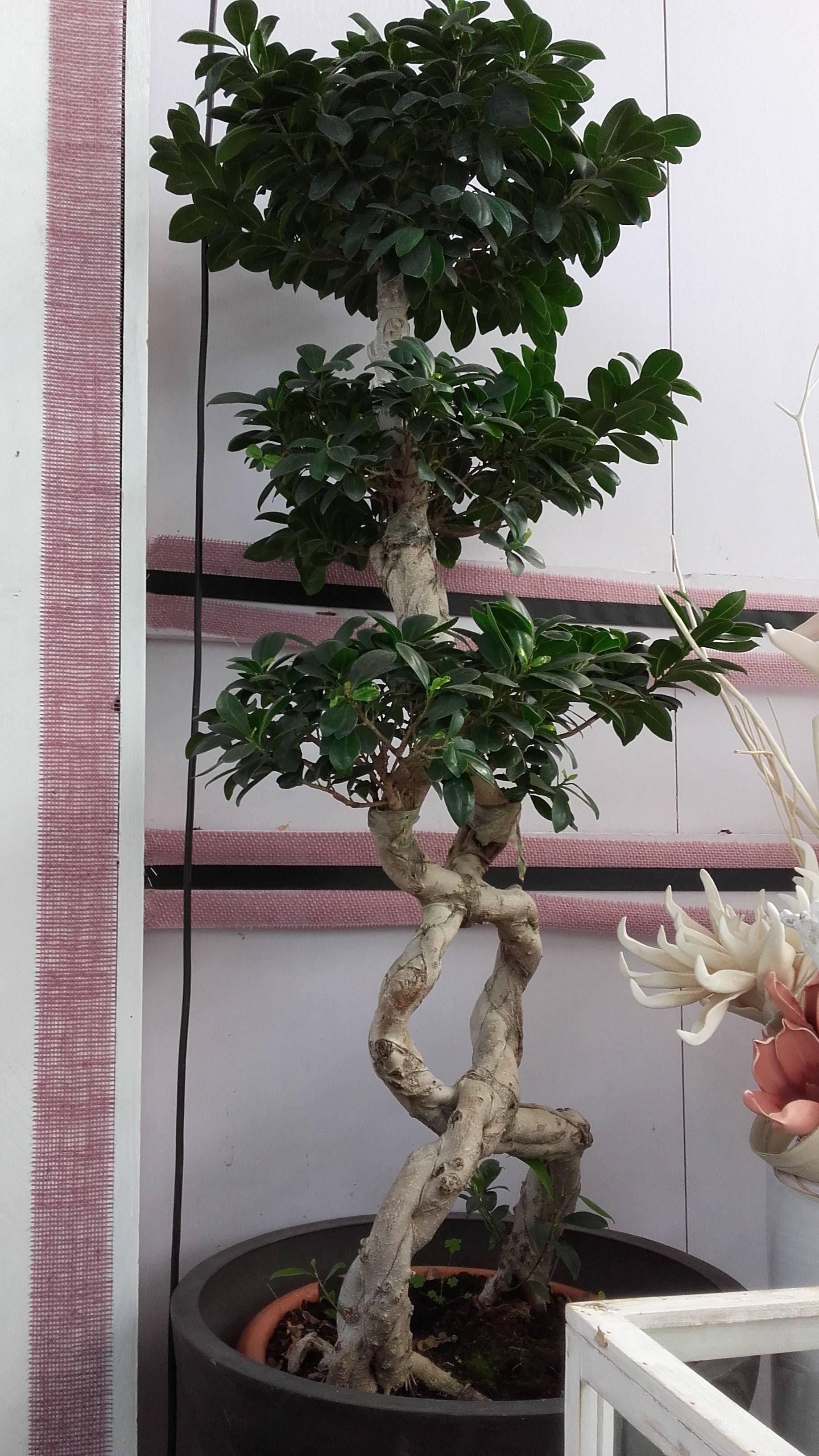 Ficus Benjamin Perde Foglie bonsai pepper tree perde foglie - bonsai tree