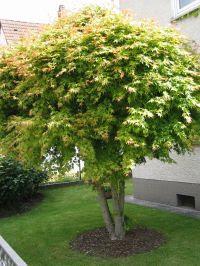 Habitus/ Gestalt / Äußere Form von Acer palmatum