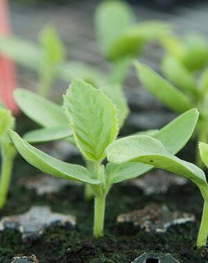 как правильно посадить семена елки