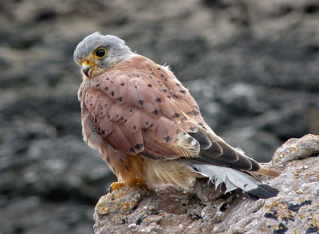 24967 - Kestrel, Oxwich Point