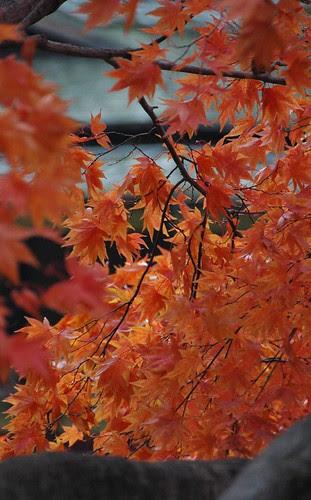 Japanese Maple, Japanese Garden, Brooklyn Botanic Garden