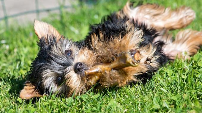 Consejos ante la intoxicación de una mascota