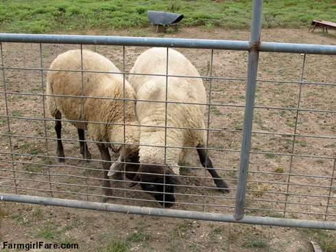 (23-11) The cooler weather has made the rams rambunctious - FarmgirlFare.com