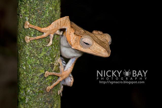 File-eared Tree Frog (Polypedates otilophus) - DSC_9028