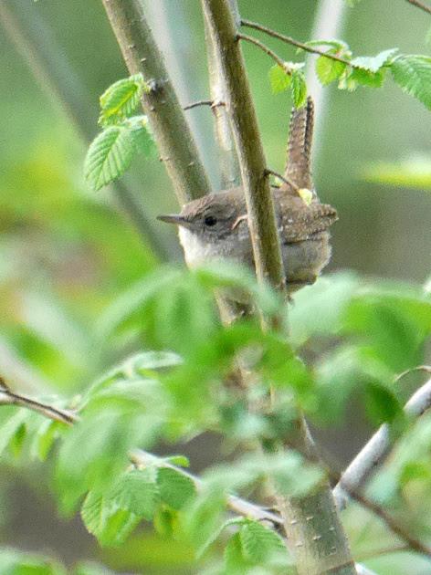 Ed Gaillard: birds &emdash; Winter Wren, Central Park