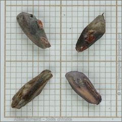 Abies forrestii seeds - Jodła chinska nasiona