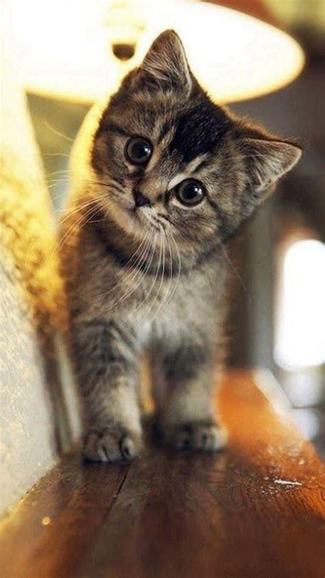 cute stare  cat animal iphone   wallpaper