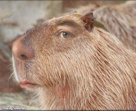 Holy shit   Capybara Madness   Pinterest
