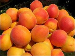 Blenheim apricot harvest
