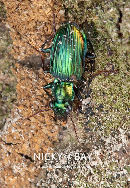 Ground Beetle (Carabidae) - DSC_6299