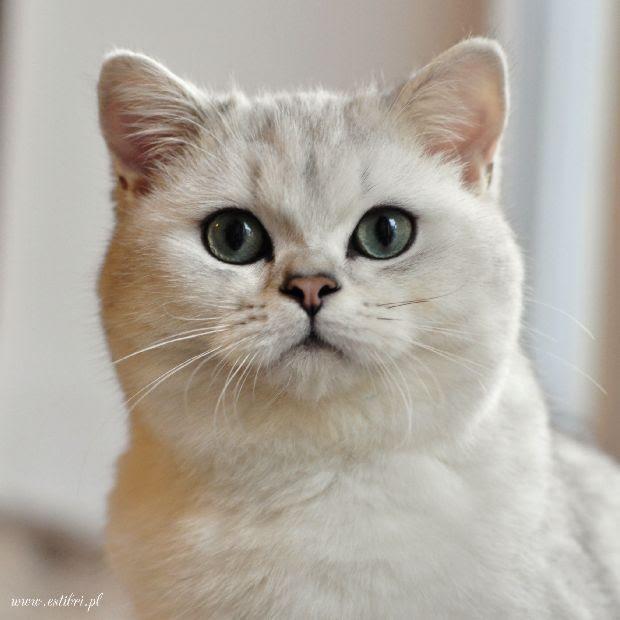 Kot Angielski Niebieskie Oczy