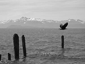 English: Bald Eagle over Kachemak Bay in Homer...