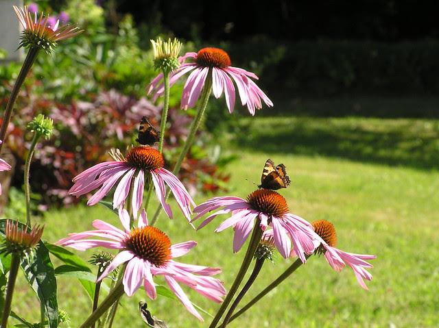 Echinacea 'Rubinstern' & Aglais urticae's