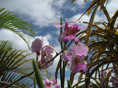 orchids Fiji