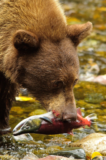 Photograph of a black bear with a Kokanee salmon in its jaws