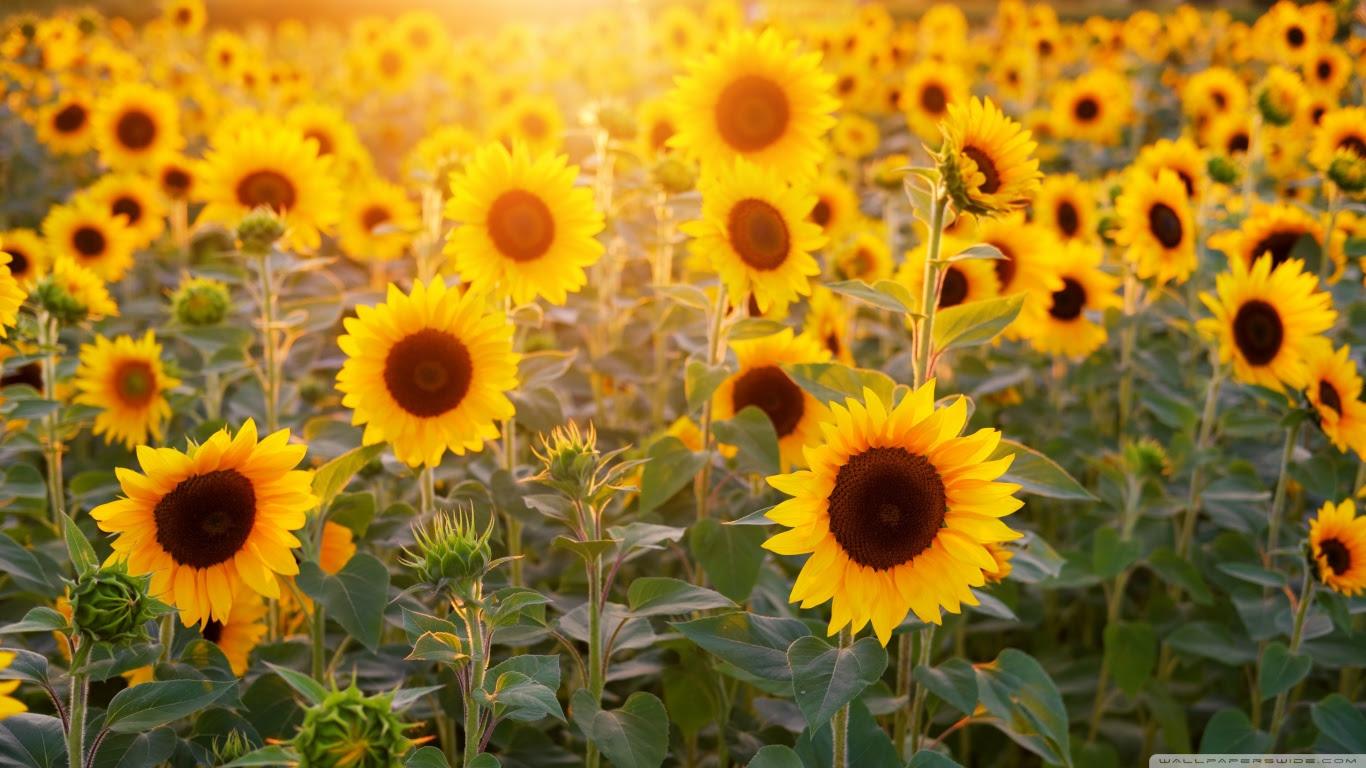 Minimalist Desktop Wallpaper Sunflower