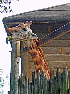 [giraffe tongue]