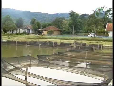 Budidaya Ikan Nila Ras Wanayasa (Nirwana)