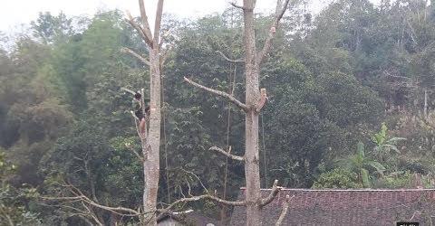 Xem cách chặt hạ cây gỗ cao khổng lồ Awesome tree Felling technique Part 1