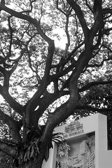 The Interlace and an old tree