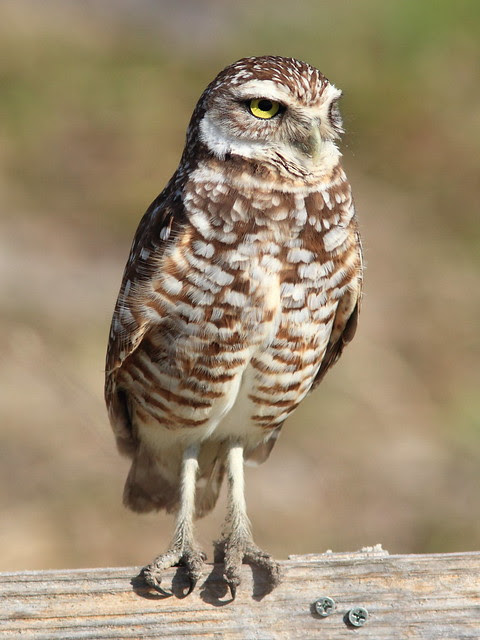Burrowing Owl 2-20130311