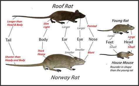 Roof Rats  Get Rid Of Roof Rats