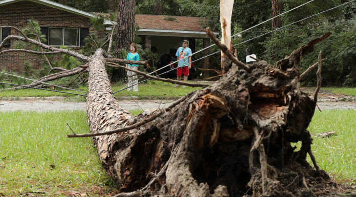 Cây bị đổ trốc gốc tại vùng bị bão Hermine đi qua. (Hình: Curtis Compton/Atlanta Journal-Constitution via AP)