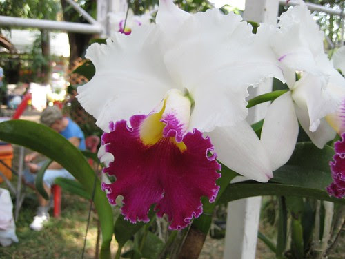orchid at the Rose Garden, Nakhon Pathom