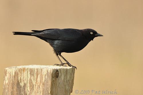 Brewer's blackbird ready for takeoff