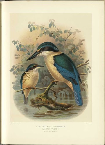 New Zealand Kingfisher - Halycon vagans