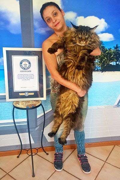 A History Of Big Cats As Another Maine Coon Becomes The Worlds
