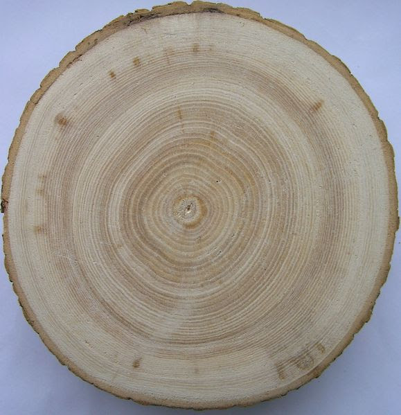 File:Fraxinus excelsior1 cross beentree.JPG