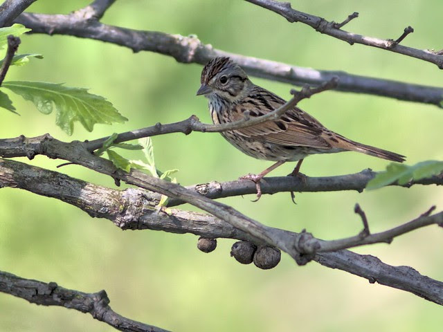 Lincoln's Sparrow 2-20130516