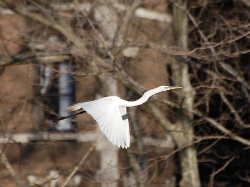 Morningside Great Egret