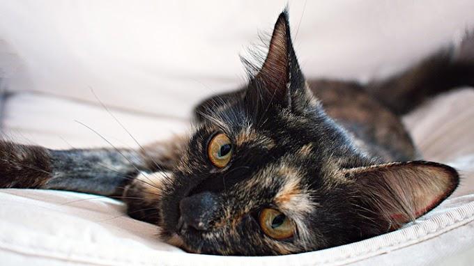 Cinco razas de gatos muy exóticas y llamativas