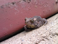 Toad in the root cellar 2