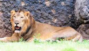 Sources in the forest department said the lion population has grown considerably in Amreli district, including Liliya, Kakraj, Khambha, Mitiyala and Savarkundla talukas.
