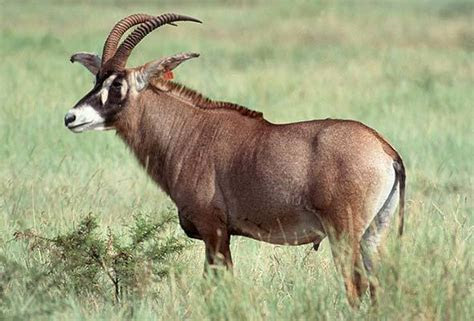 Roan   Antelope   South Africa Mammals
