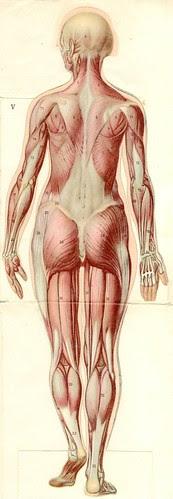 anatom37 5