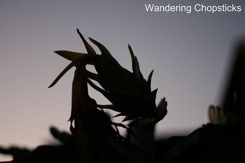 7.15 Dragon Fruit at Sunset 1