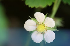 alpine strawberry blossom
